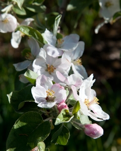 Apple blossoms in various stages of development