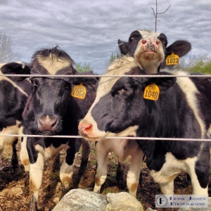 The Cows are Hamming it up!