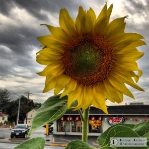 A Sunny Flower on a Rainy Day
