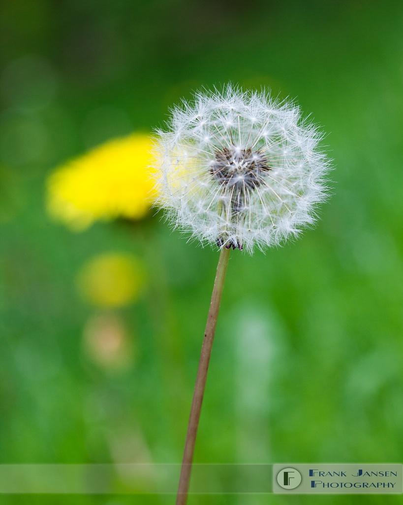 Dandelions_MG_5244-WM