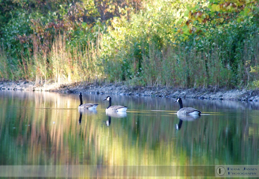 Geese-on-Quinapoxet_1497