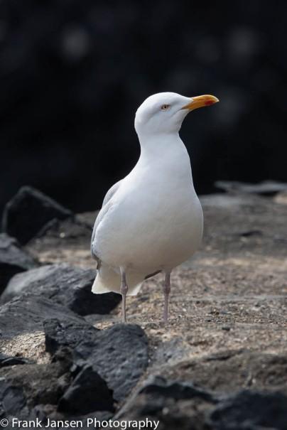 Staffa Seagull