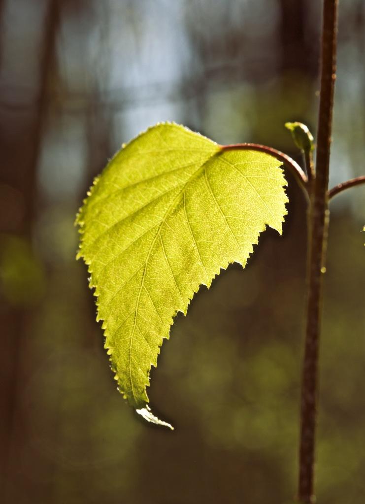 Leaf_57A4664