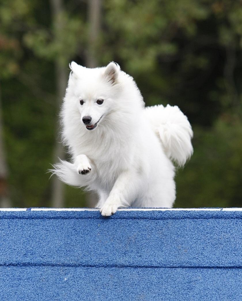 IMG_0294_20120922_093726-American-Eskimo-Dog