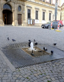 Pigeons playing