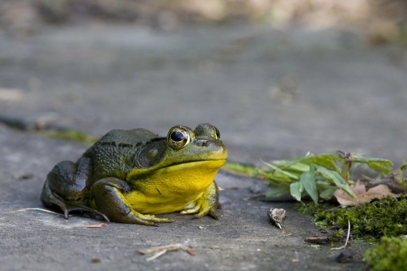 sr_frog