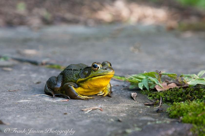 20080816-Simons-Rock-Frog_P2P5052