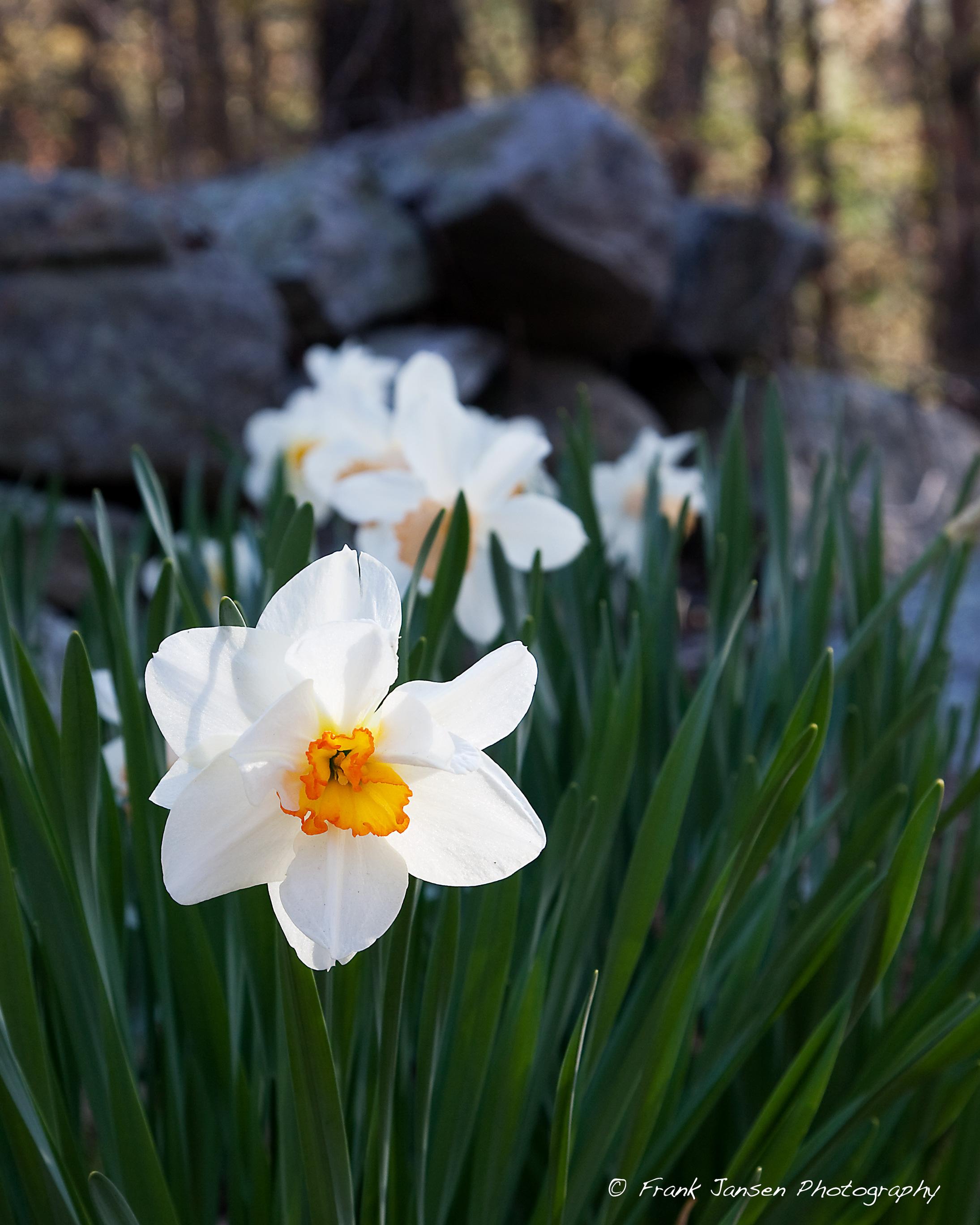 20100420-Boylston-Daffodil_14E1000