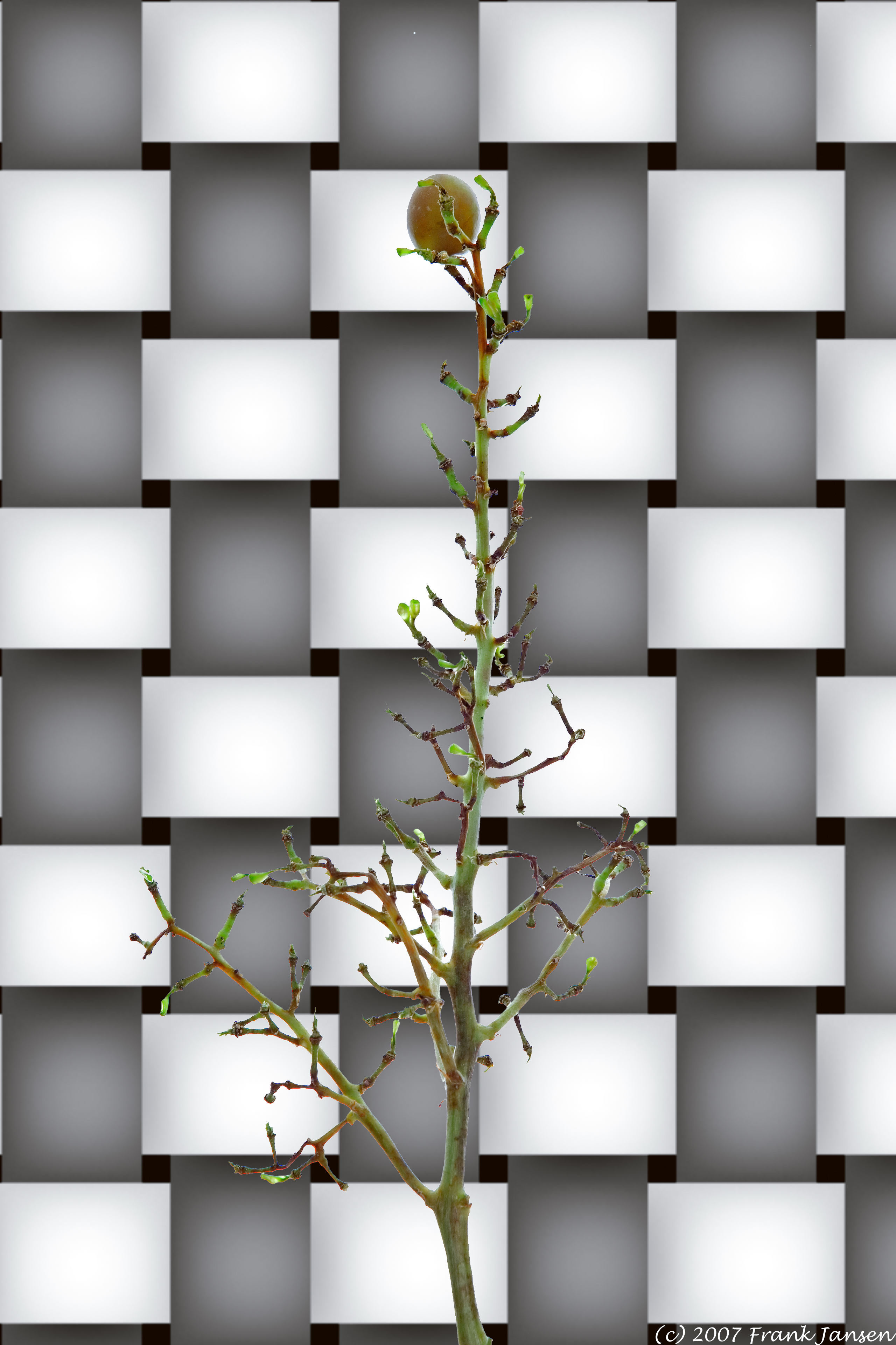 A_Tree_Grows_2162