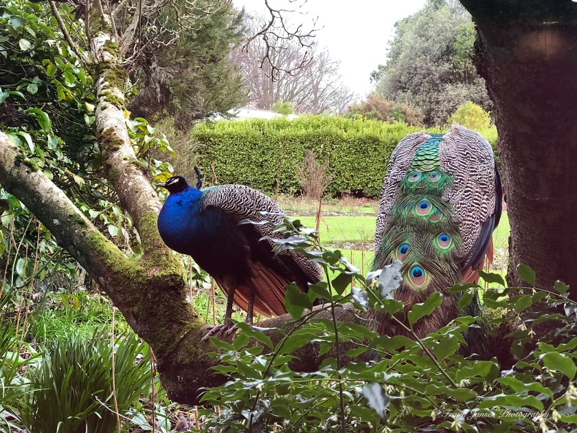 2018-01-16-11.29.57-Malahide-Peacocks