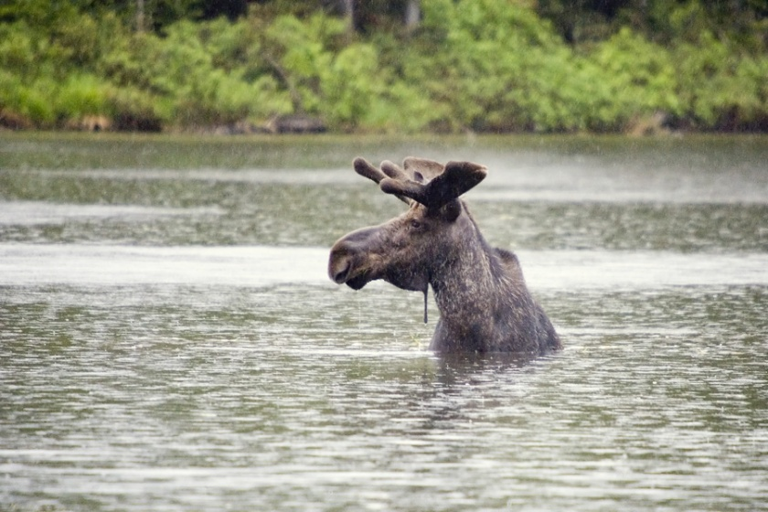moose_bull_in_rain_lw4o2110